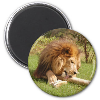 African Lion Magnet