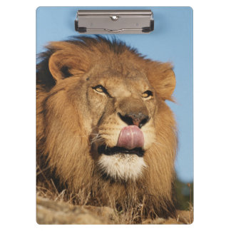 African Lion (Panthera Leo), African savannah Clipboard