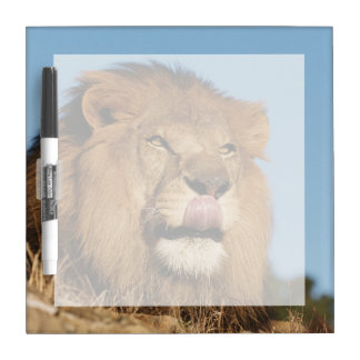 African Lion (Panthera Leo), African savannah Dry Erase Board
