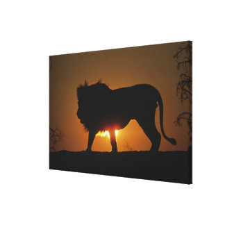 African lion (Panthera leo) against sunset, Canvas Print