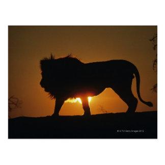 African lion (Panthera leo) against sunset, Postcard