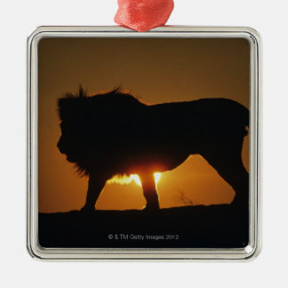 African lion (Panthera leo) against sunset, Silver-Colored Square Decoration