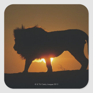 African lion (Panthera leo) against sunset, Square Sticker