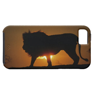 African lion (Panthera leo) against sunset, Tough iPhone 5 Case