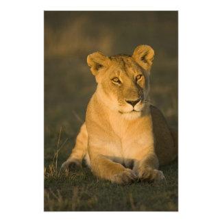 African Lion, Panthera leo, at sunrise. Masai Art Photo