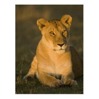 African Lion, Panthera leo, at sunrise. Masai Postcard
