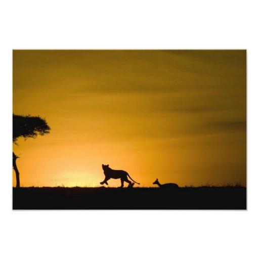African Lion, Panthera leo, chasing gazelle Art Photo