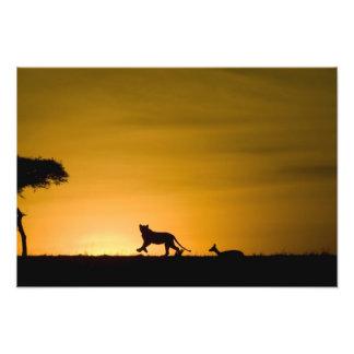 African Lion, Panthera leo, chasing gazelle Photograph