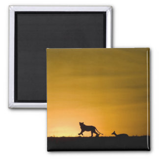 African Lion, Panthera leo, chasing gazelle Square Magnet