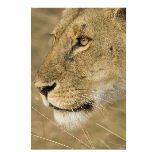 African Lion, Panthera leo, close up portrait Photographic Print