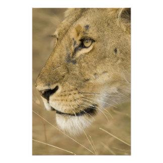 African Lion Panthera leo close up portrait Photographic Print