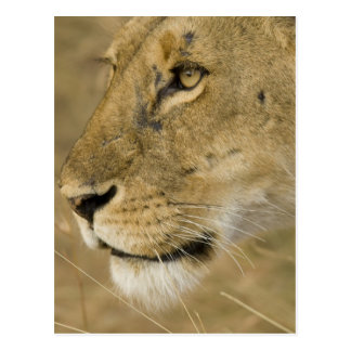 African Lion, Panthera leo, close up portrait Postcard
