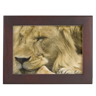 African Lion, Panthera leo, laying down asleep Keepsake Box