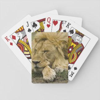 African Lion, Panthera leo, laying down asleep Playing Cards