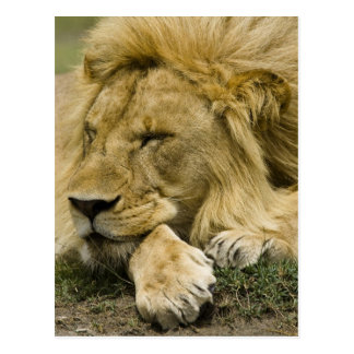 African Lion, Panthera leo, laying down asleep Postcard
