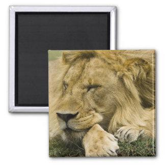 African Lion, Panthera leo, laying down asleep Square Magnet