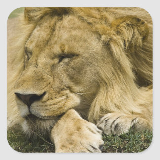 African Lion, Panthera leo, laying down asleep Square Sticker
