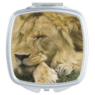 African Lion, Panthera leo, laying down asleep Travel Mirror