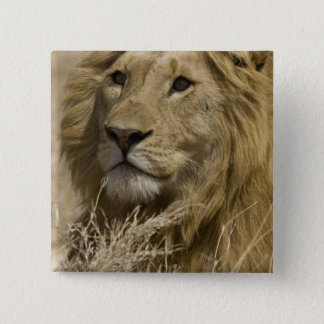 African Lion, Panthera leo, Portrait of a 15 Cm Square Badge