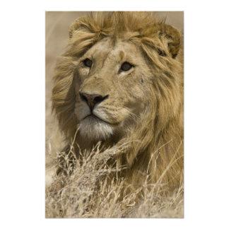 African Lion, Panthera leo, Portrait of a Art Photo
