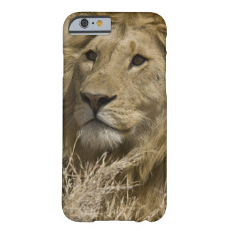 African Lion, Panthera leo, Portrait of a Barely There iPhone 6 Case
