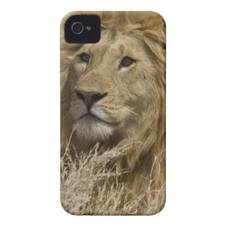 African Lion, Panthera leo, Portrait of a Case-Mate iPhone 4 Cases