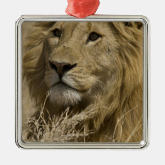 African Lion, Panthera leo, Portrait of a Christmas Ornament