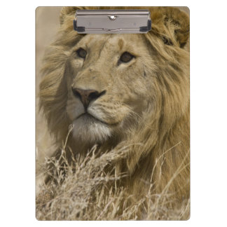 African Lion, Panthera leo, Portrait of a Clipboard
