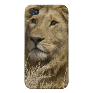 African Lion, Panthera leo, Portrait of a iPhone 4/4S Case