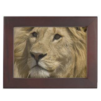 African Lion, Panthera leo, Portrait of a Keepsake Box