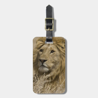 African Lion, Panthera leo, Portrait of a Luggage Tag