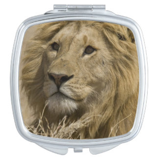 African Lion, Panthera leo, Portrait of a Makeup Mirror