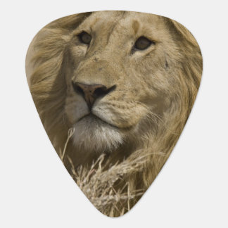 African Lion, Panthera leo, Portrait of a Plectrum