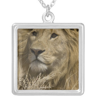 African Lion, Panthera leo, Portrait of a Silver Plated Necklace
