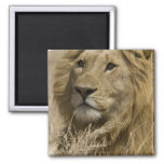 African Lion, Panthera leo, Portrait of a Square Magnet