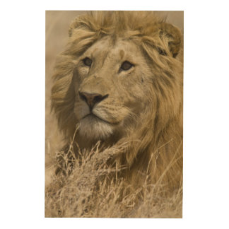 African Lion, Panthera leo, Portrait of a Wood Wall Decor