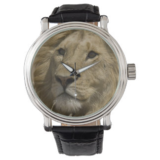 African Lion, Panthera leo, Portrait of a Wrist Watch