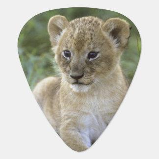 African lion, Panthera leo), Tanzania, Guitar Pick