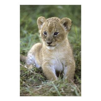 African lion, Panthera leo), Tanzania, Photograph