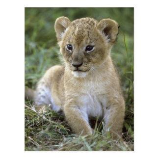 African lion, Panthera leo), Tanzania, Postcard