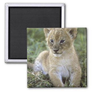 African lion, Panthera leo), Tanzania, Square Magnet