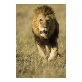 African Lion, Panthera leo, walking in the Photo Print