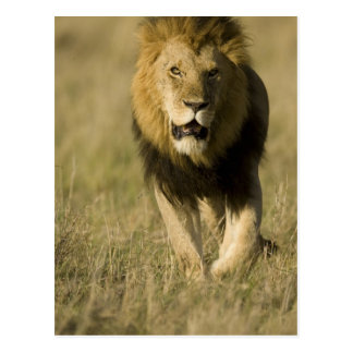 African Lion, Panthera leo, walking in the Post Card