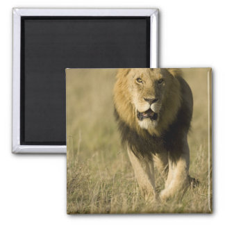 African Lion, Panthera leo, walking in the Square Magnet