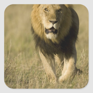 African Lion, Panthera leo, walking in the Square Sticker