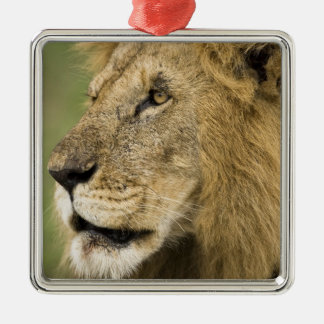 African Lion Portrait, Panthera leo, in the Christmas Ornament