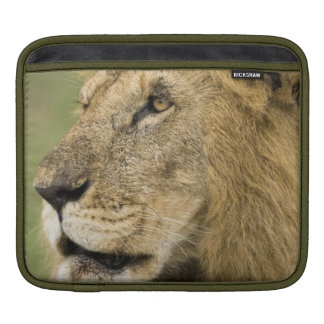 African Lion Portrait, Panthera leo, in the iPad Sleeve