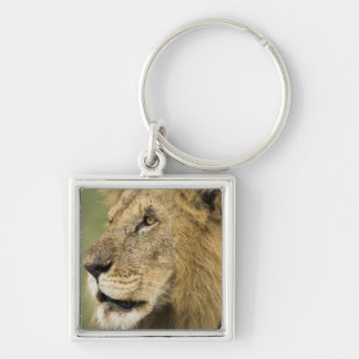 African Lion Portrait, Panthera leo, in the Key Ring