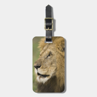 African Lion Portrait, Panthera leo, in the Luggage Tag