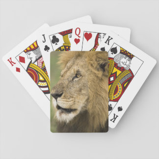 African Lion Portrait, Panthera leo, in the Playing Cards